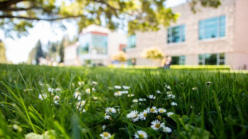 Daisies on the lawn across the Rec
